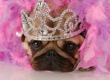 spoiled dog - adorable pug dressed up as a princess