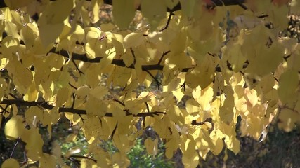 Yellow autumn pear leaves swaying in the wind