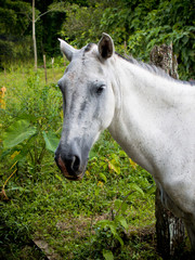 White Horse in Costa Rica
