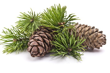 Siberian pine cones with branch