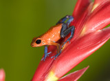 strawberry or blue jeans poison dart frog on red plant 1 poster
