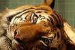 Fototapeten,tiger,tigerin,wachsamkeit,auge