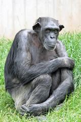 0910053 - Betagter Schimpanse