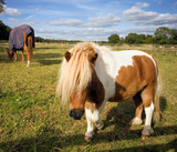 Shetland pony approaching in a paddock poster