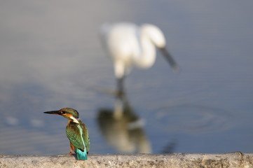 Common Kingfisher with Little Egret on the background