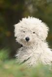 Hungarian shepherd dog