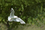 white dove a symbol of peace and purity poster