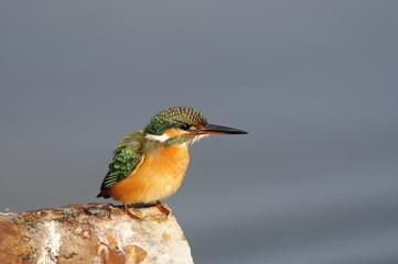 The Common Kingfisher (Alcedo atthis) at Maagan Michael Lake