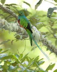 magnificent resplendent quetzal male, costa rica