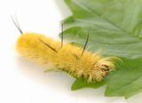 yellow fuzzy caterpillar - banded tussock moth caterpillar. poster