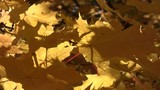 Close-up of autumn norway maple leaves swaying in the wind