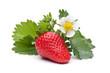 Einzelne Erdbeere mit Blättern und Blüten auf weißem Hintergrund