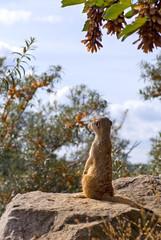 looking surikata