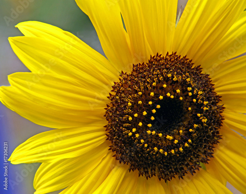 Yellow sunflower / sun flower petals and stamen