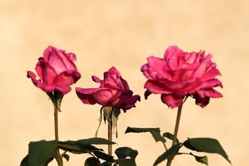 Tris di rose