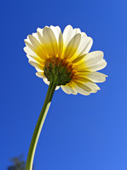 flower chrysanthemum on background blue sky