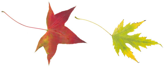 yellow green and red autumn leaf isolated on white