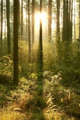 Coniferous forest in the morning in the warm glow of the sun