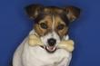 Jack Russell Terrier Holding Dog Bone