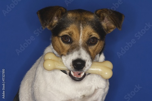 Jack Russell Terrier Holding Dog Bone