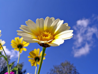 chrysanthemum on background blue sky