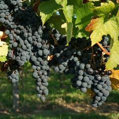 Vigne et raisin noir