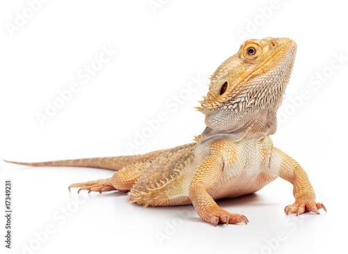 bearded dragon - 17349231