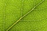 Leaf Vein poster