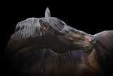 black purebred stallion poster