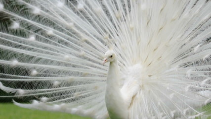 white peacock plumage