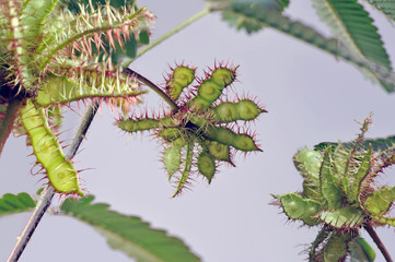 Detail of Mimosa pudica branches with seeds