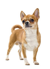Red Chihuahua isolated