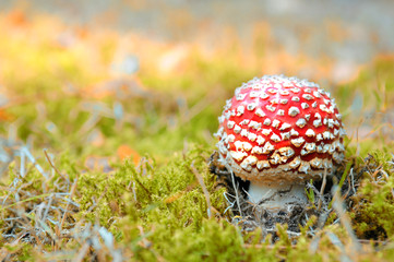little red mushroom in autumn forest