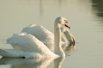 Romantic couple of swans on the lake at sunrise