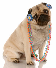 pug dog dressed up as a female on white background