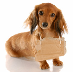 miniature dachshund wearing cardboard sign around neck