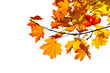 Maple branch with fall leaves Isolated on white
