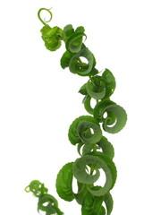 Salix babylonica 'Crispa'