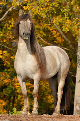 The gray Yakut horse portrait in autumn