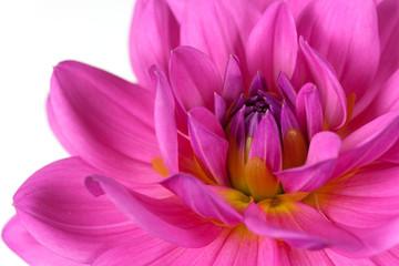 Dahlie- Pink,freigestellt