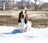 Dog breed basset-hound poster