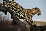 Leopard on the tree-