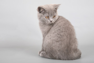 British Shorthaired Kitten