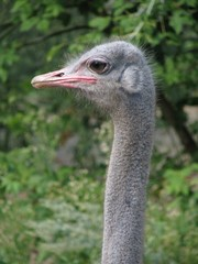 The profile of the ostrich in zoo.