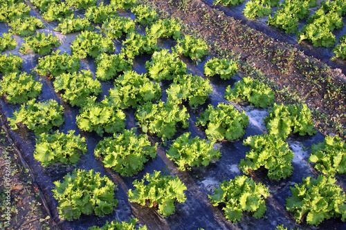 plantation de salade photo libre de droits sur la banque d 39 images image 17426082. Black Bedroom Furniture Sets. Home Design Ideas