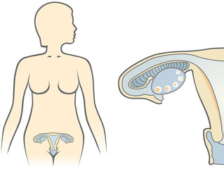 the female body and the reproduction system