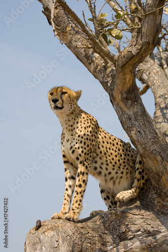 Cheetah in tree in South Africa