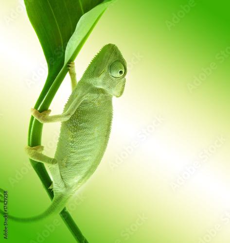 Foto op Plexiglas Kameleon Chameleon on flower.