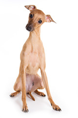 Italian greyhound puppy on white background