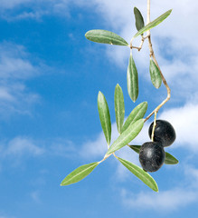 olive branch with fruits